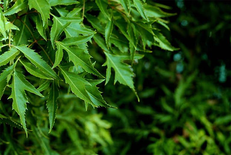một số lưu ý khi sử dụng lá đinh lăng chữa bệnh mề đay