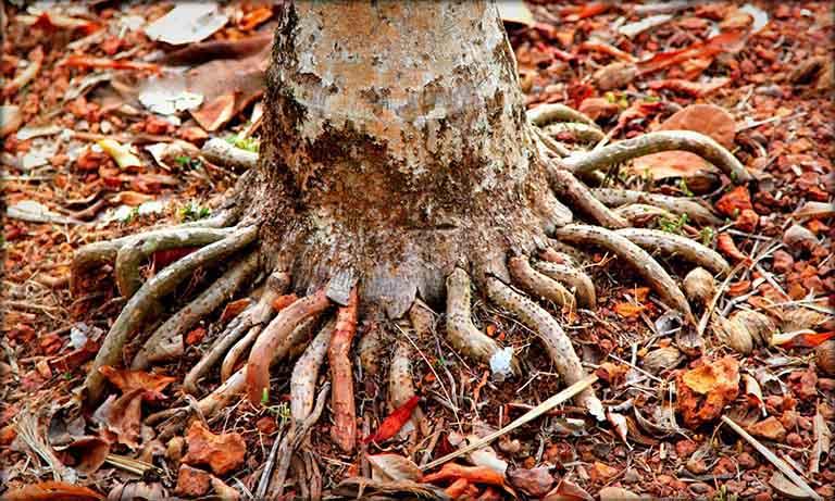 công dụng của rễ cau trong việc chữa bệnh yếu sinh lý