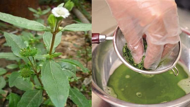 Bài thuốc từ cỏ mực trị ho cho bé