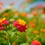 Cách trị viêm xoang tại nhà với hoa ngũ sắc