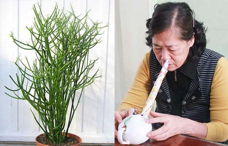 Cây giao chữa viêm mũi dị ứng