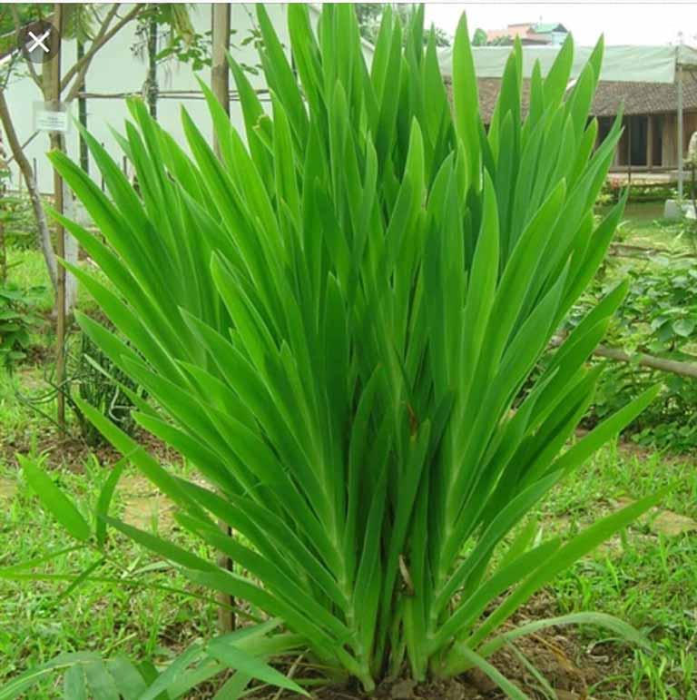 cây rẻ quạt chữa viêm họng hạt