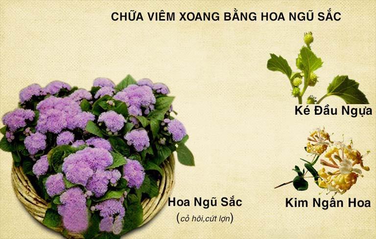 chữa viêm xoang bằng cây hoa ngũ sắc