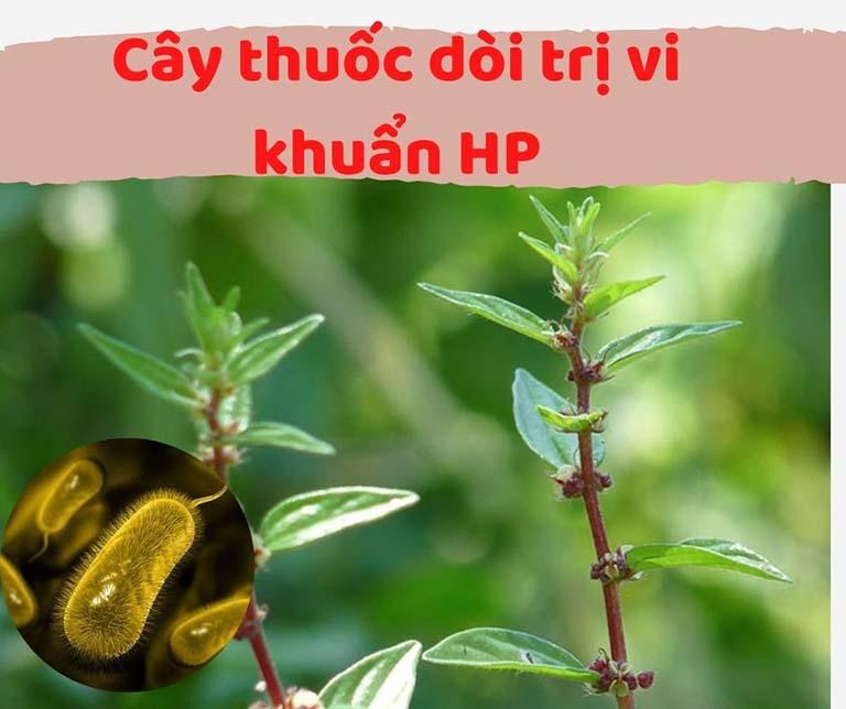 cây thuốc dòi trị vi khuẩn HP