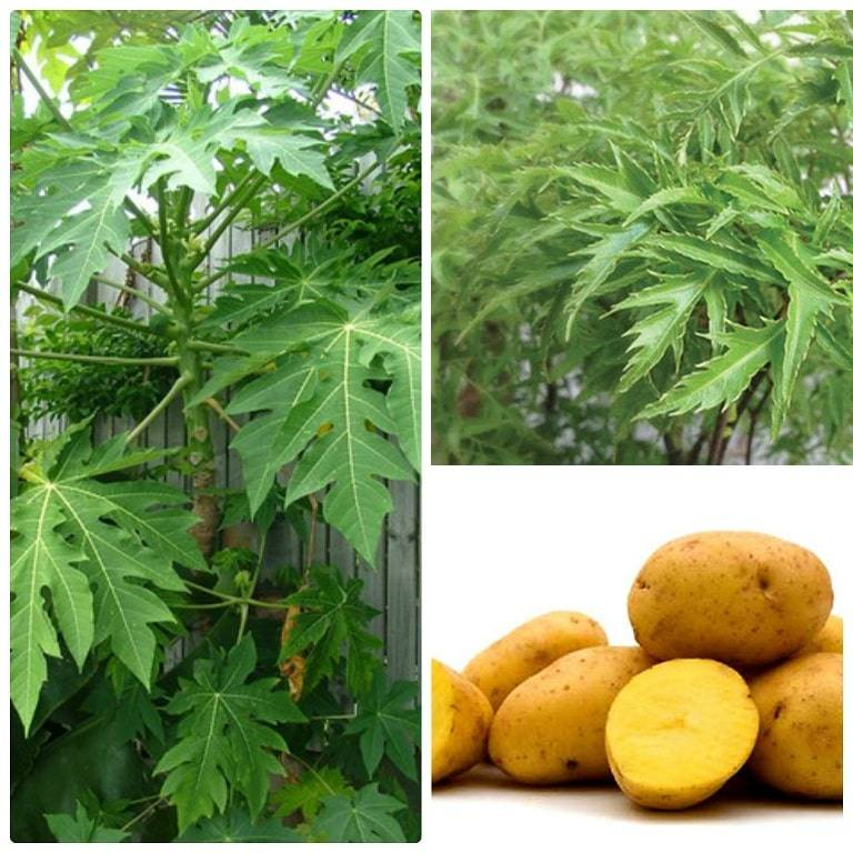 Kết hợp lá đu đủ, lá đinh lăng và khoai tây
