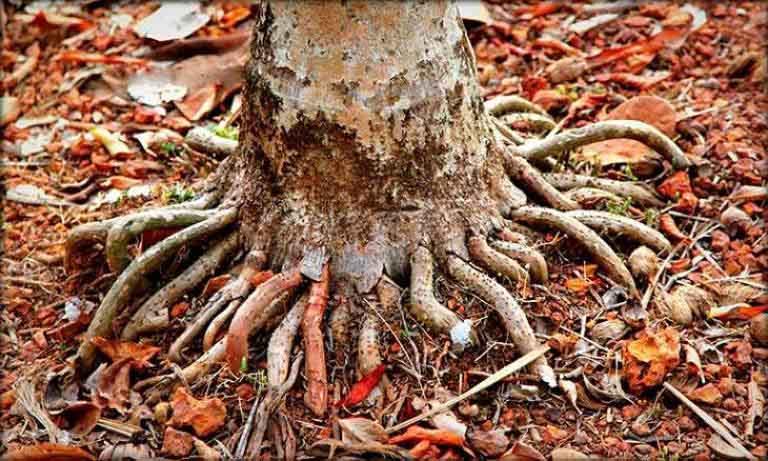 Rễ cau treo điều trị xuất tinh sớm