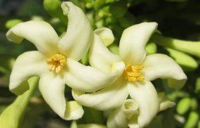 Hoa đu đủ đực: Tác dụng và các bài thuốc trị bệnh cực hay