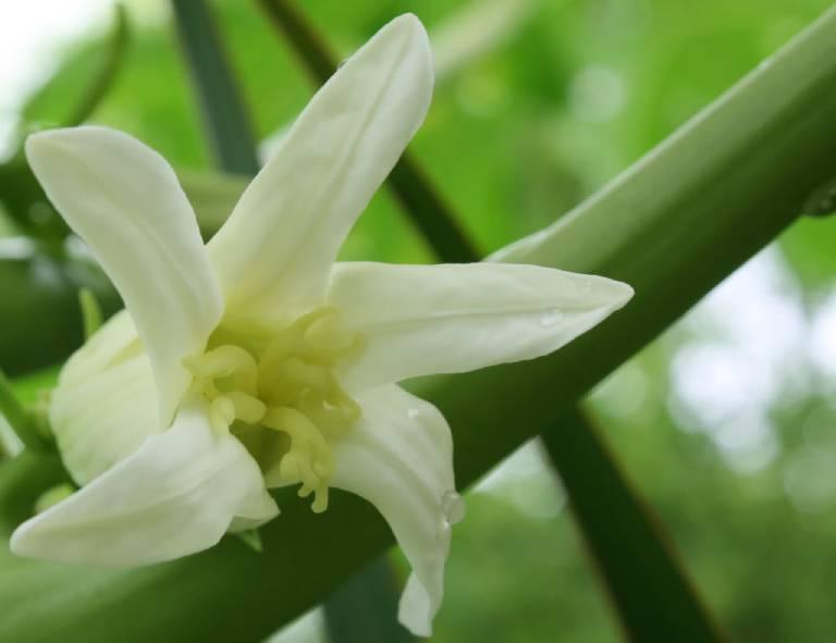 Thu hái và sơ chế hoa đu đủ đực