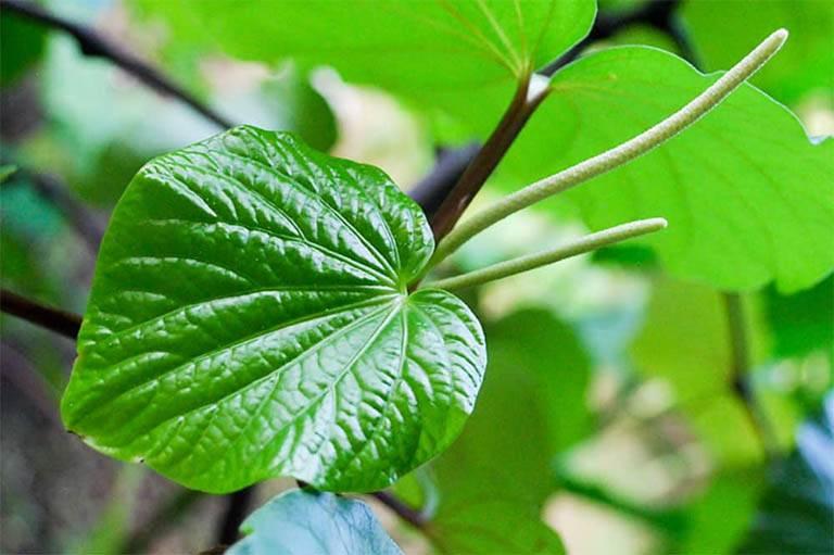 Bài thuốc nam từ lá lốt chữa bệnh