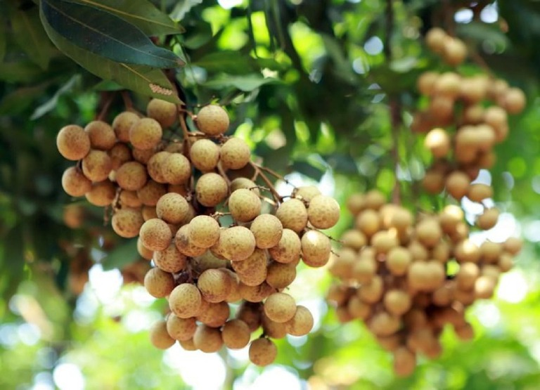 Long nhãn - Sau sinh ăn hoa quả gì tốt cho mẹ và bé?