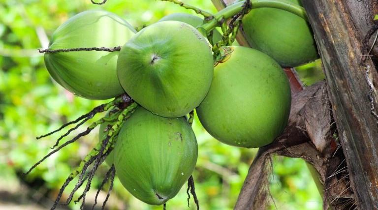 Trái dừa