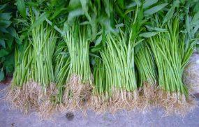 Bị bệnh trĩ có nên ăn rau muống không?