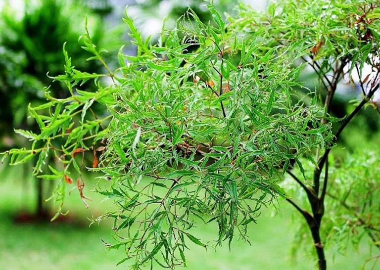Bài thuốc từ cây đinh lăng
