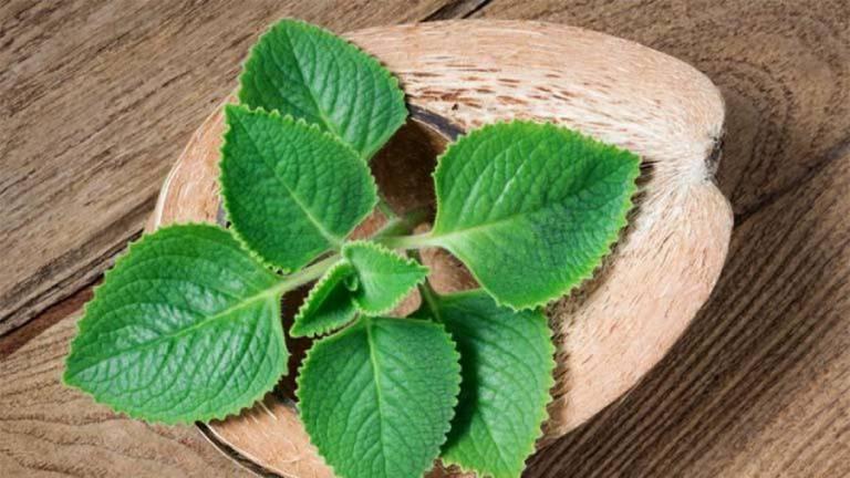 Lá húng chanh có mùi thơm chanh, vị chua cay, tính ấm, rất tốt cho người mắc các bệnh về đường hô hấp