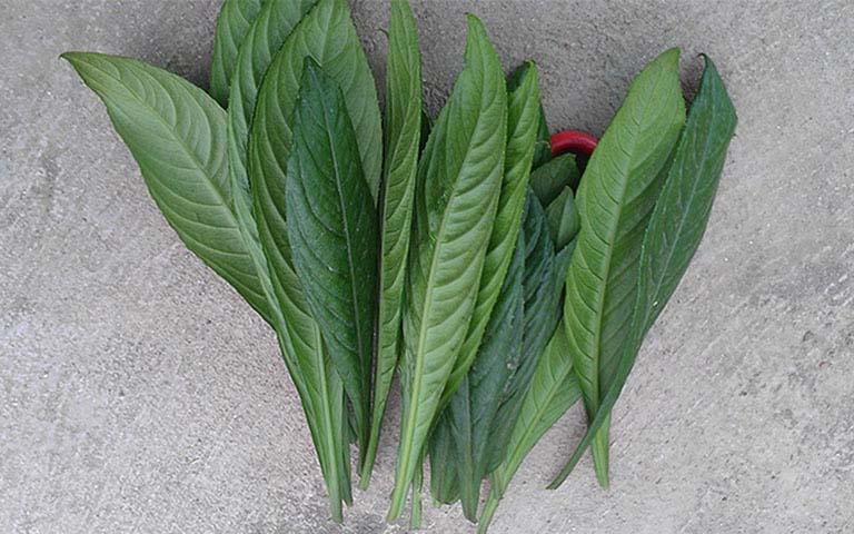 chữa viêm họng hạt bằng cây thuốc Nam