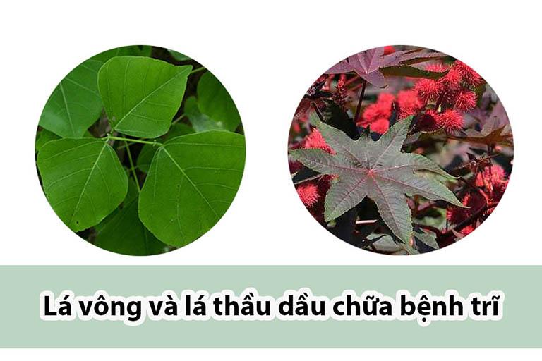 lá cây vông chữa bệnh trĩ