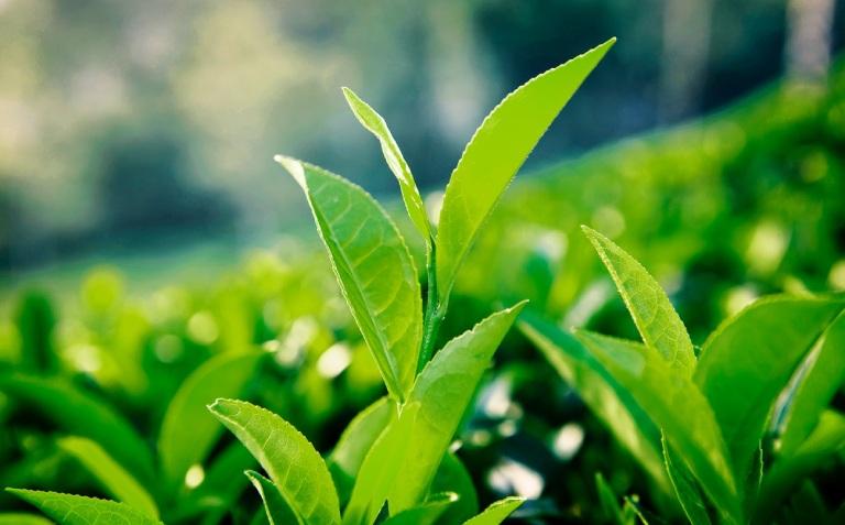 Chữa bệnh viêm đại tràng cấp tính bằng trà xanh