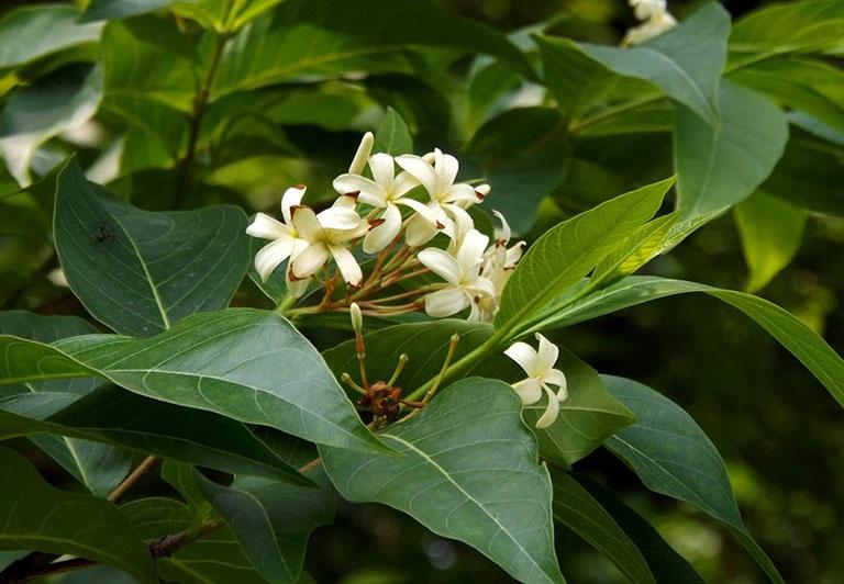 Trị bệnh viêm đại tràng cấp tính bằng mộc hoa trắng
