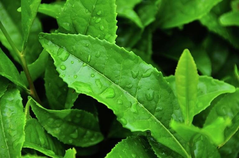 Bí quyết chữa ngứa bằng trà xanh
