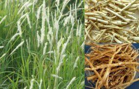rễ cỏ tranh chữa bệnh huyết trắng